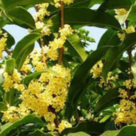 内蒙古桂花