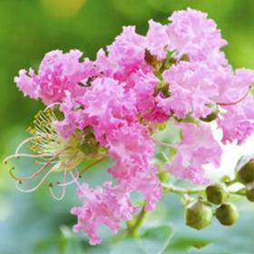 内蒙古紫薇