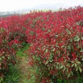 南京红叶石楠